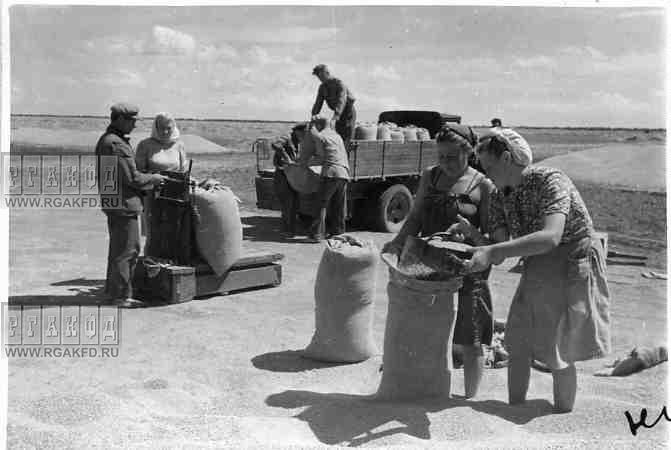Красно-Перекопского района на колхозном току взвешивают мешки с зерном и грузят их на машину для отп